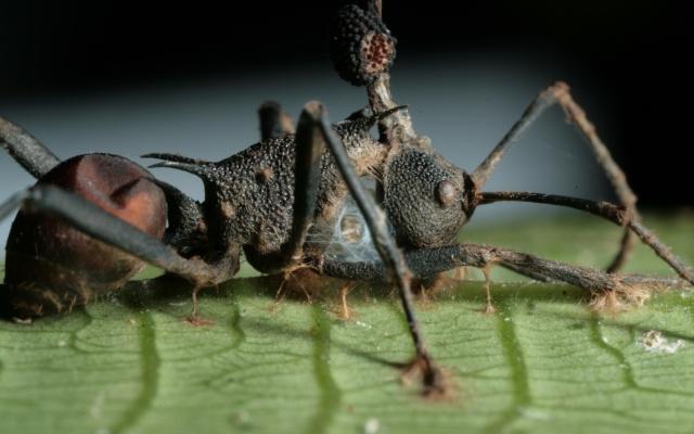 La hormiga que puede caminar dormida