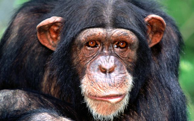 El chimpancé más famoso por su adicción
