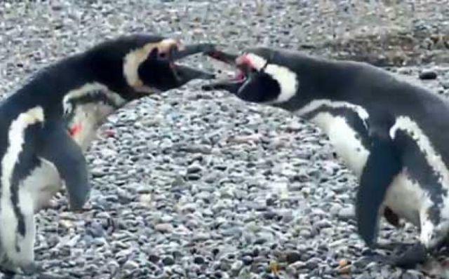 Pingüino cachó a su pareja en infidelidad y provocó una gran pelea