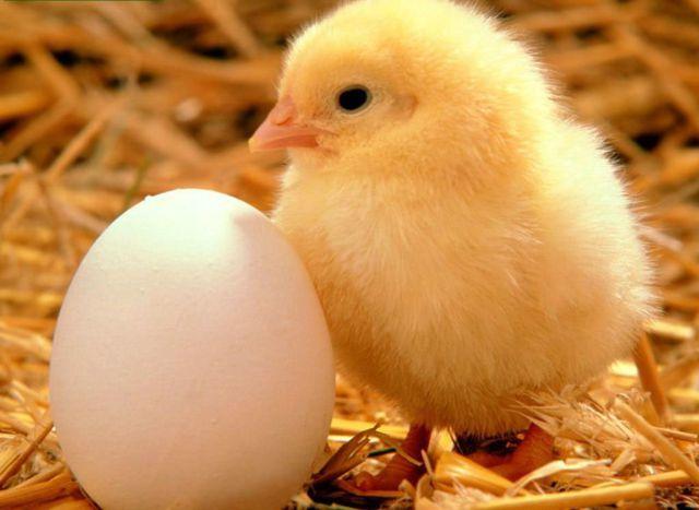 Los pollos tienen una inteligencia maquiavélica