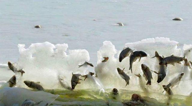 Peces congelados en pleno salto