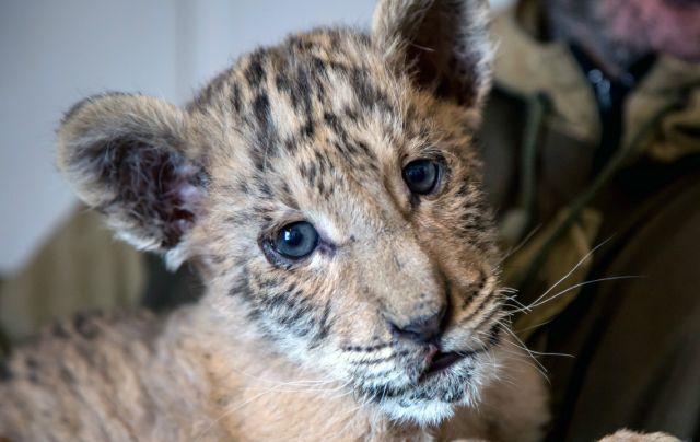 """Nace un bebé """"ligre"""", un cruce entre un león y una tigresa"""
