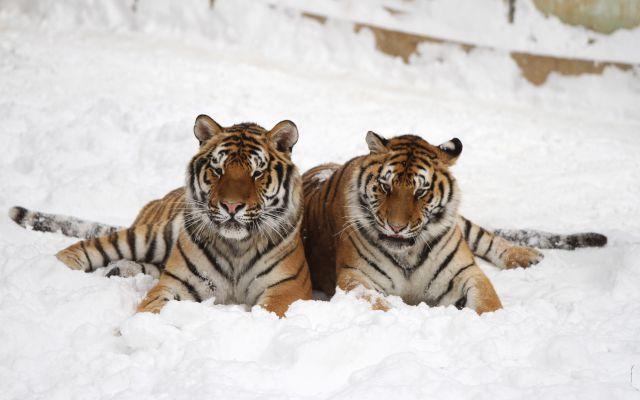 Así lucen los tigres siberianos gordos en un zoológico de China