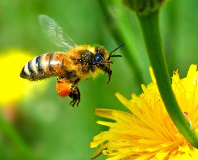 Científicos entrenan abejas para jugar al fútbol