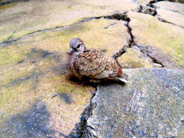 ¿Por qué nunca vemos palomas bebés?