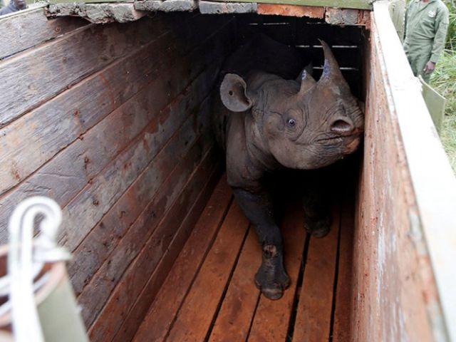 Muere último rinoceronte macho