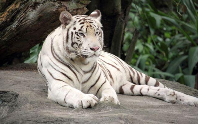 Tigre ataca a menor de edad